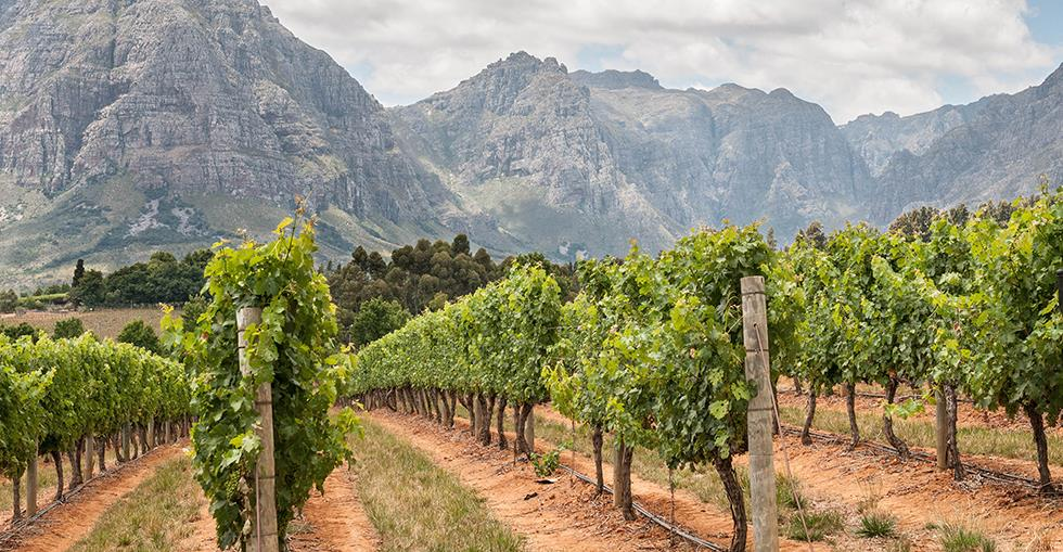 South African vineyard